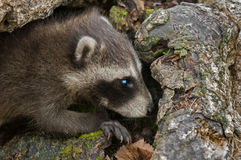 Baby Raccoons (Procyon lotor) with Copy Space Right Stock Photography