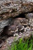 Baby Raccoons (Procyon lotor) Huddle in Log Royalty Free Stock Image