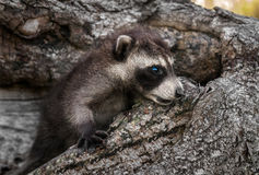 Baby Raccoons (Procyon lotor) Lies in Downed Tree Stock Image