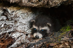 Baby Raccoons (Procyon lotor) Lies Inside Log Royalty Free Stock Photos