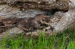 Baby Raccoons (Procyon lotor) Line Up Stock Photos