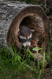 Baby Raccoons (Procyon lotor) Pokes Head out of Fallen Tree Stock Photo