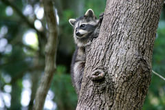 Baby Racoon. A Baby Racoon Clinging To A Tree Trunk Stock Photos