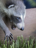 Baby racoon Stock Images