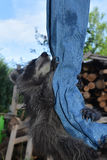 A baby racoon climbs in jeans upwards Royalty Free Stock Photography