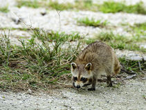 Baby Racoon. On a Coral Beach Stock Photo