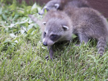Baby racoon on grass Stock Photos