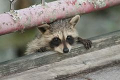 Baby racoon playing peek a boo Royalty Free Stock Photos