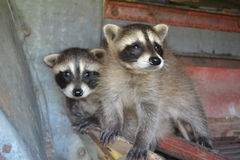 Baby Racoons Stock Photo
