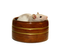 Baby rat stock photo