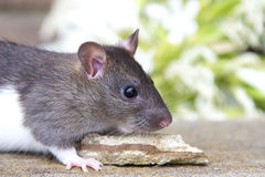 Baby rat stock images