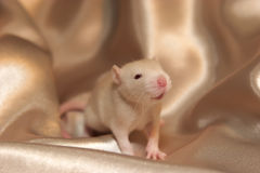 Baby rat. A baby rat against soft satin texture Royalty Free Stock Photos