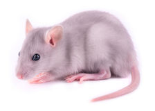 Baby rat. (1 month old Stock Image