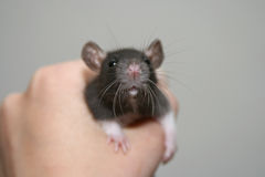 Baby rat Royalty Free Stock Images