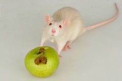 Baby rat with apple Royalty Free Stock Photos
