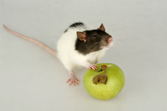 Baby rat with apple Stock Image