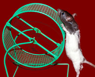 Baby rat and cage wheel. Baby black and white rat checking out a green cage wheel Royalty Free Stock Images