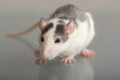 Baby rat close up Royalty Free Stock Photos