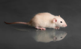 Baby rat on glass Royalty Free Stock Photography