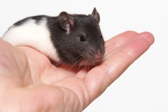Baby rat in hand. A black and white baby rat held in a hand royalty free stock photo