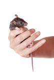 Baby rat in a hand Royalty Free Stock Images