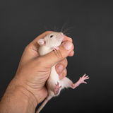 Baby rat in hand Stock Photography