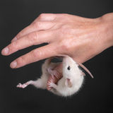 Baby rat hanging on the thumb Royalty Free Stock Photos
