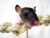 Baby rat (12) Royalty Free Stock Images