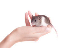 Baby rat in the palm Royalty Free Stock Image