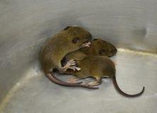 Baby rat Stock Photos