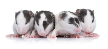 Baby Rat in a row Royalty Free Stock Photos