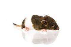 Baby rat sleepy Royalty Free Stock Photography