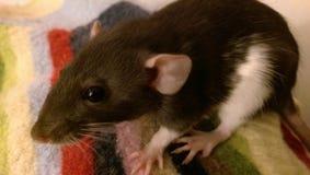 baby rat stock image