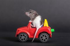 Baby rat on the toy car Royalty Free Stock Photo
