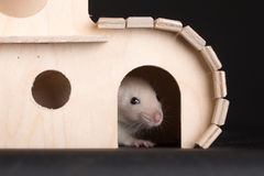 Baby rat in wooden house Royalty Free Stock Photography