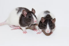Baby rats. Two black and white hooded rats Royalty Free Stock Photo