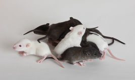 Baby rats. Very small infant rats on a white background Royalty Free Stock Image