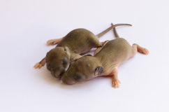 Baby rats Royalty Free Stock Image
