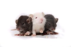 Baby rats Stock Photos