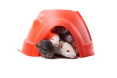 Baby rats in a plastic dome Royalty Free Stock Image