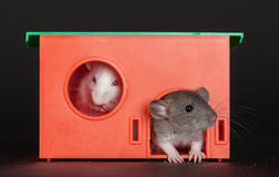 Baby rats in the red house Royalty Free Stock Photos