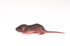 Baby rats Science test white background Stock Images