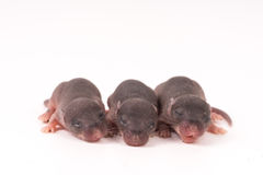Baby rats Science test white background Stock Photo