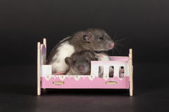 Baby rats Stock Image