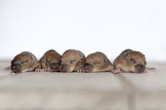 Baby Rats on wood plate Stock Photography