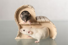 Baby rats in wooden house Stock Photos