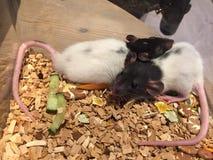 Baby-Ratten stockfotos