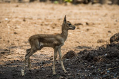 Baby red deer in the zoo Royalty Free Stock Photos