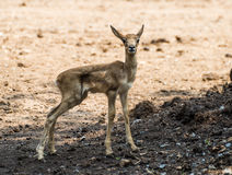 Baby red deer in the zoo Stock Image