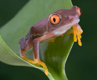 Baby red-eyed tree frog. A baby red-eyed tree frog has turned a strange color due to the stress of moving to a new home Stock Photography